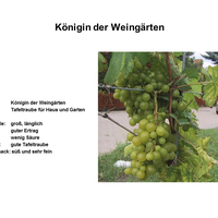 Königin der Weingärten