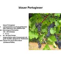 Blauer Portugieser