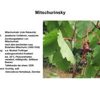 Mitschurinsky